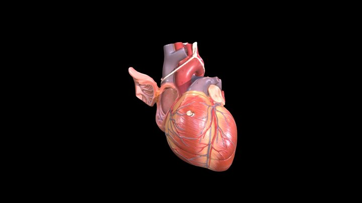 Heart (Plastic Model) - Right Atrium 3D Model