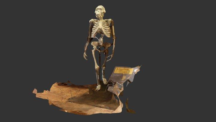 """""""Lucy"""" Australopithecus afarensis 3D Model"""
