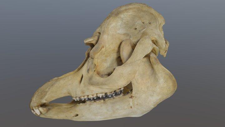 Cráneo de Tapir 3D Model