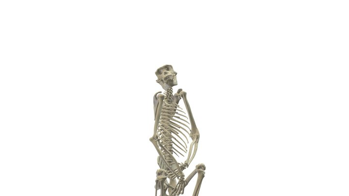 CT Based Adult Common Chimp Skeleton 3D Model