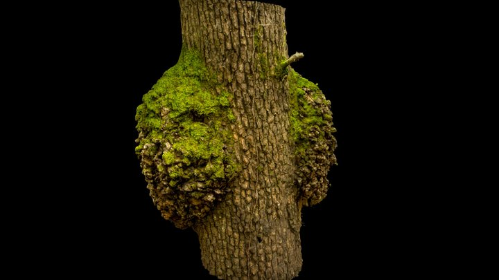 mossy tree trunk with burl bulge - photoscan 3D Model