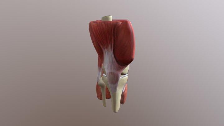 Healthy Knee 3D Model