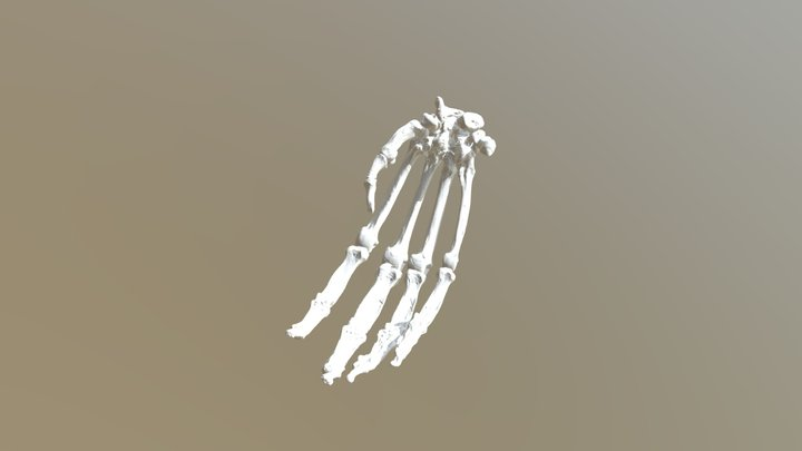 Chimpanzee Hand 3D Model