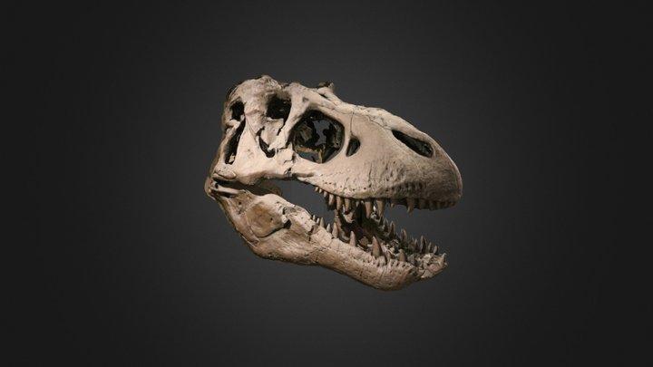 Vertebrate: Tyrannosaurus rex skull (MOTE) 3D Model