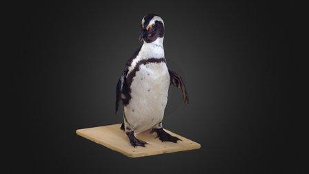 Black-footed Penguin 3D Model