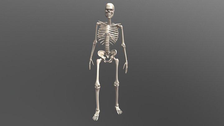 Male Skeleton v2 3D Model
