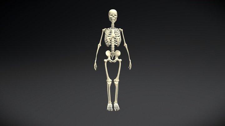 Adult Male Skeleton 3D Model