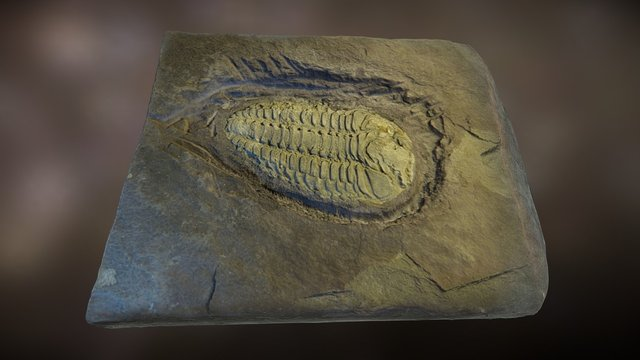 Placoparia cambriensis - Trilobite fossil 3D Model