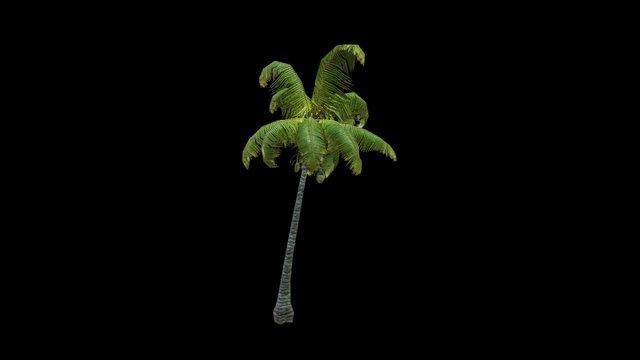 Coconut Palm 13 3D Model