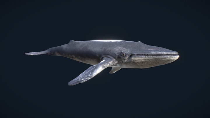 Blue Whale - Textured 3D Model