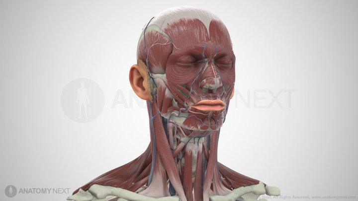 Head And Neck 3D Model