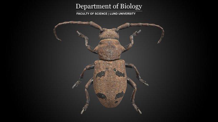 Longhorn Beetle (Herophila tristis) 3D Model