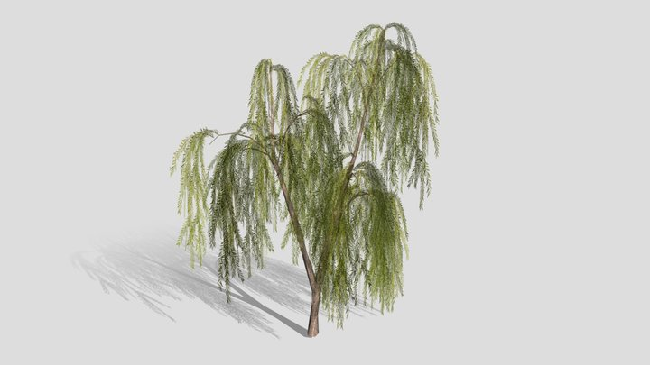 Drooping Willow Tree 3D Model