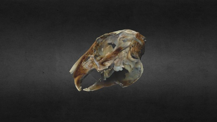 Rabbit skull 3D Model