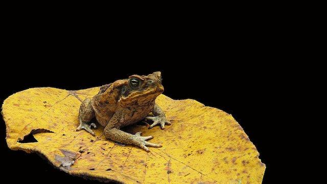 Model 6- Marine toad 3D Model