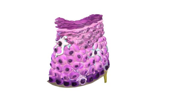 Epithelium of the skin: The Epidermis 3D Model
