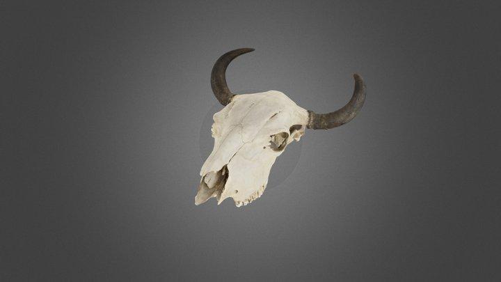 Bison (Bison bison), adult male, cranium 3D Model