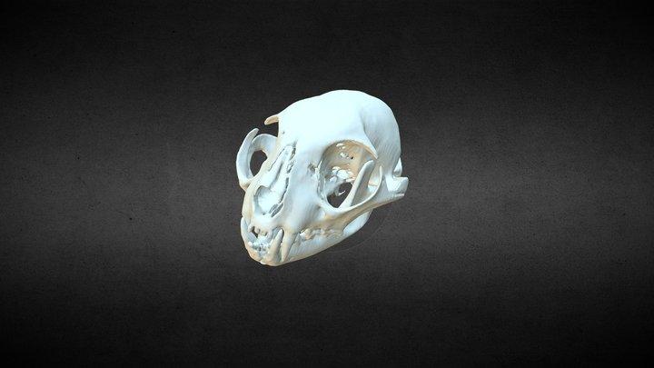 Scottish Wildcat (Felis silvestris) 3D Model