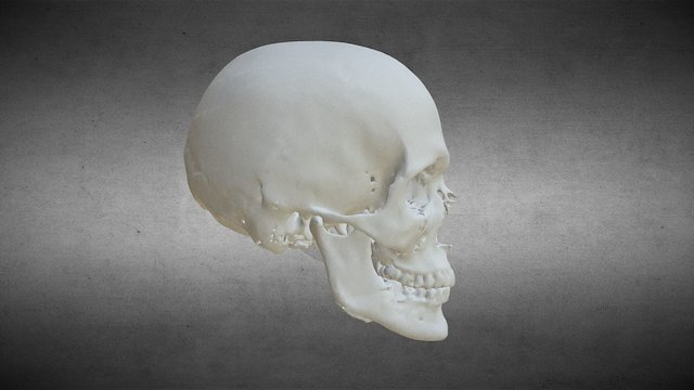 cranium 3D Model