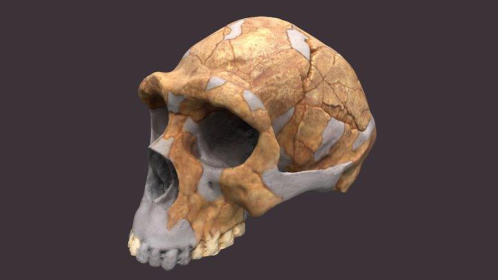 Homo erectus Skull 3D Model