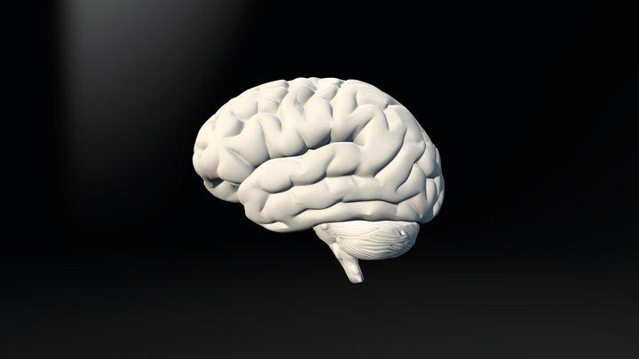 Brain Areas 3D Model