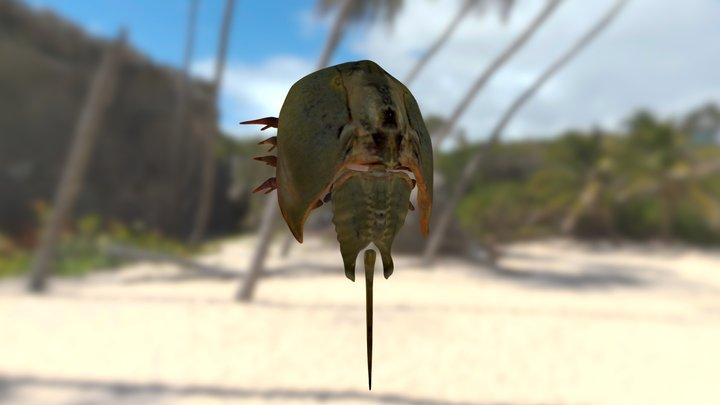 Horseshoe crab WIP 3D Model