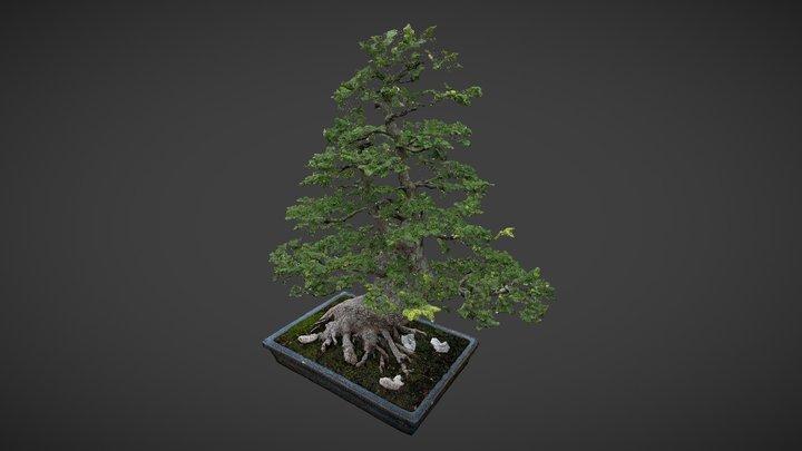 Ulmus parvifolia [POINT CLOUD] 3D Model