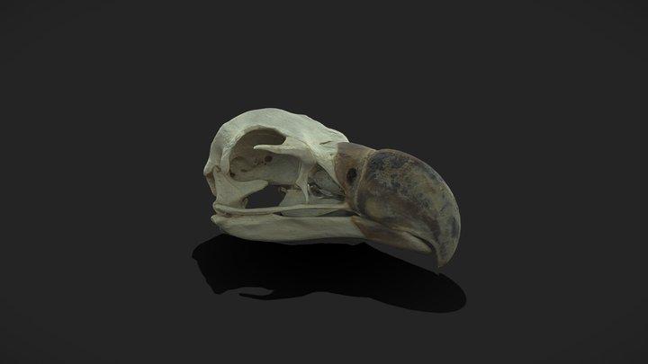 Lappet-faced Vulture 3D Model