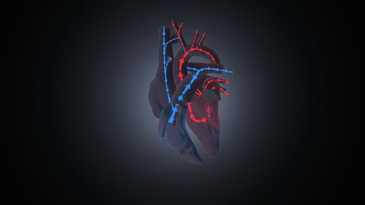 Cardiac hemodynamics (adult) 3D Model