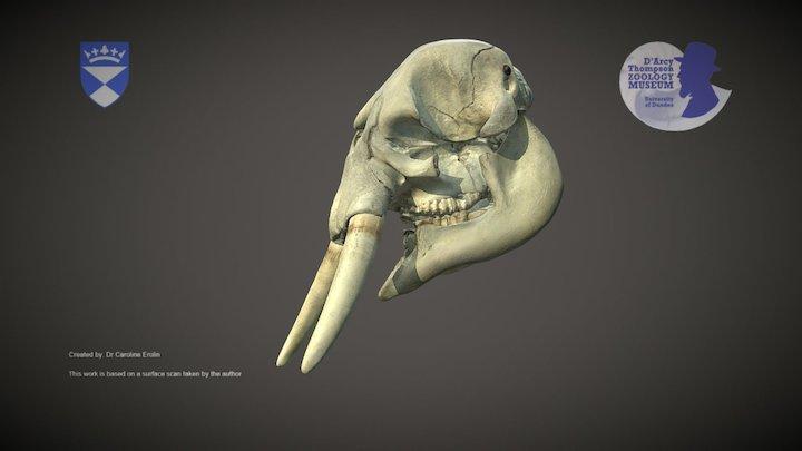 African Forest Elephant skull 3D Model