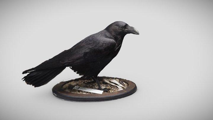 Korppi (Corvus corax) 3D Model