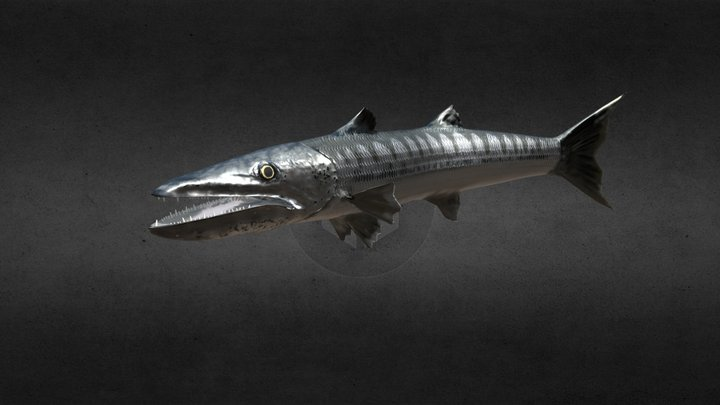 Barracuda Swimming 3D Model