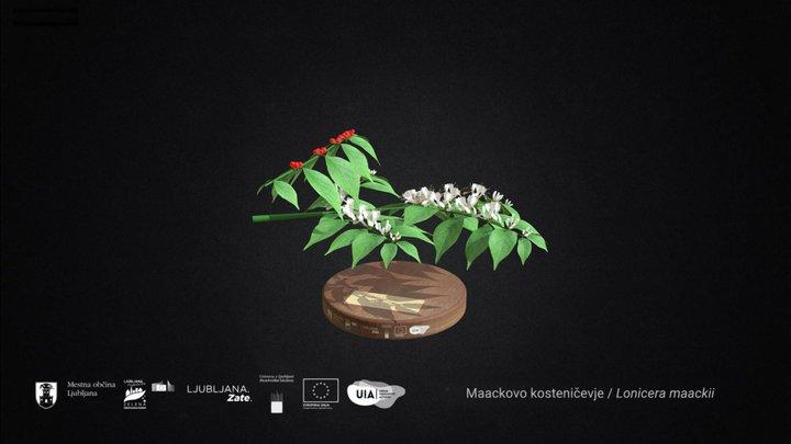 Maackovo kosteničevje 3D Model