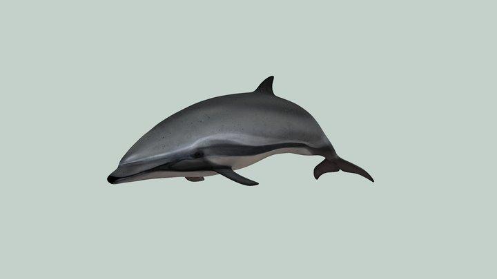 Fraser's dolphin 3D Model