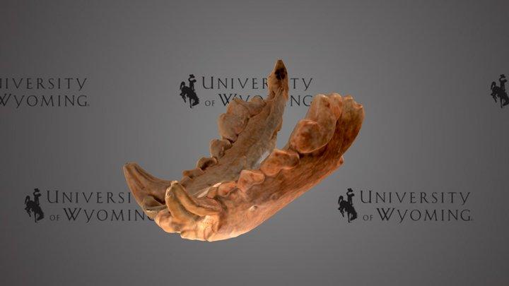 UW6136 - Gulo gulo, Lower Jaw 3D Model
