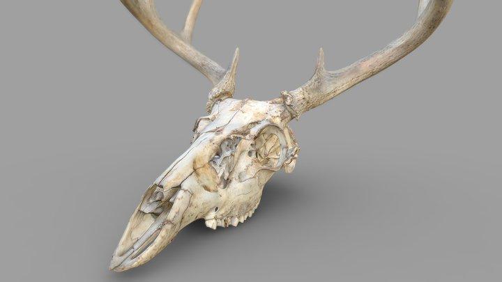 Deer Skull Color 3D Scan 3D Model