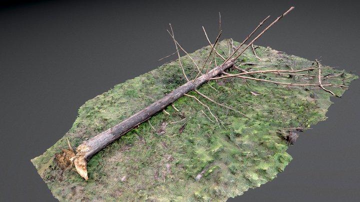 Dry fallen pine tree 3D Model