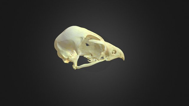 Falco peregrinus, skull 3D Model