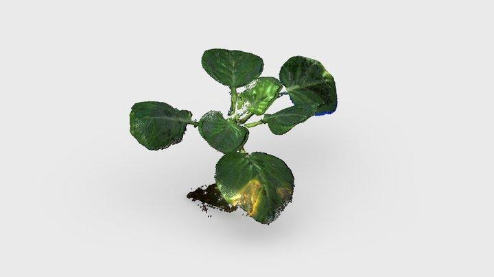 Cabbage - PlantEye Dual Scan 3D Model