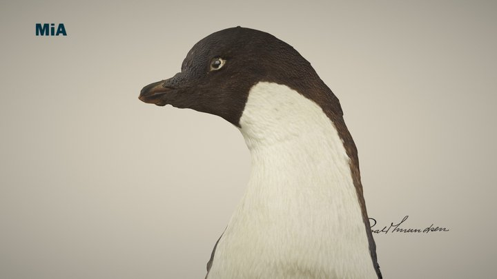 Adeliepingvinen/ Adélie penguin 3D Model