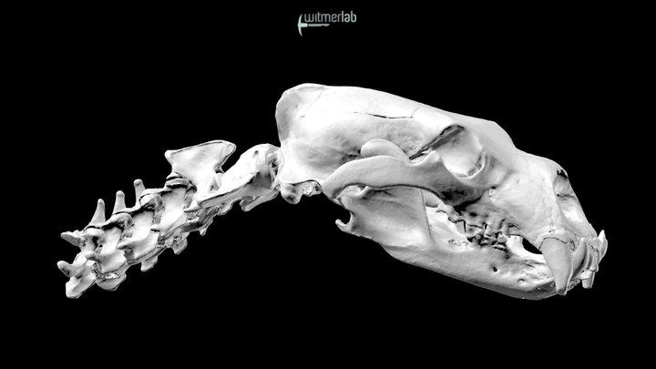 Polar bear skull and neck vertebrae (OUVC 9566) 3D Model