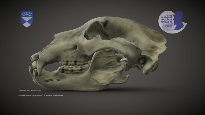 Brown Bear skull 3D Model