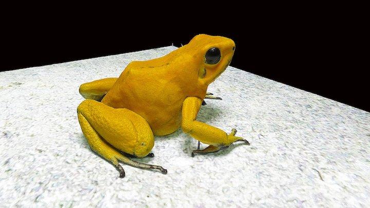 Model 39 - Golden Poison Frog 3D Model