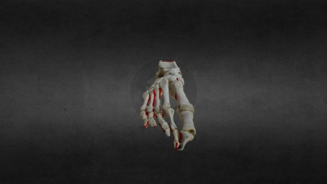 Foot Bones 3D Model