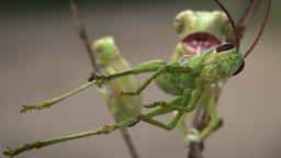 Young veiled chameleon 3D Model
