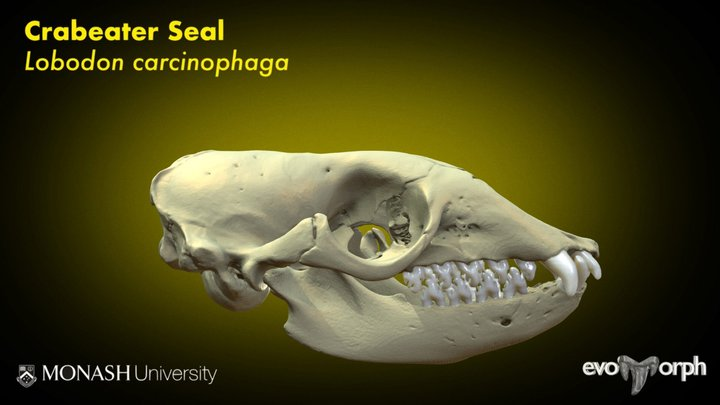 Teeth of the Crabeater Seal 3D Model