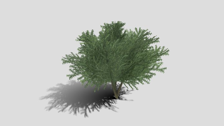Boxwood Tree Version 11 3D Model