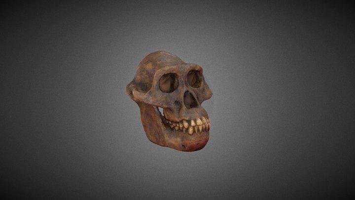 Australopithecus africanus 3D Model