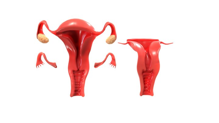 Female Reproductive System Animation 3D Model