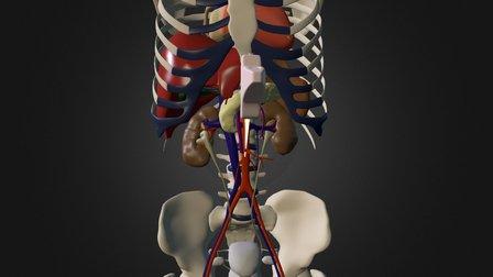 OBB Laengsschnitt Aorta 3D Model
